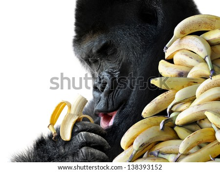 Big hungry gorilla eating a healthy snack of bananas for breakfast, isolated on a white background. - stock photo