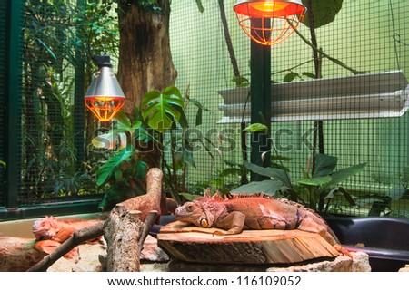 Big iguana lizard in terrarium - stock photo