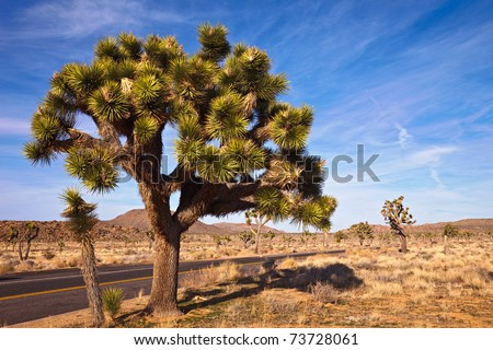 Big joshua tree in Joshua Tree National Park, California. - stock photo