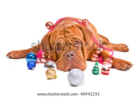 Big Kind Dog Lying among Christmas Decorations - stock photo
