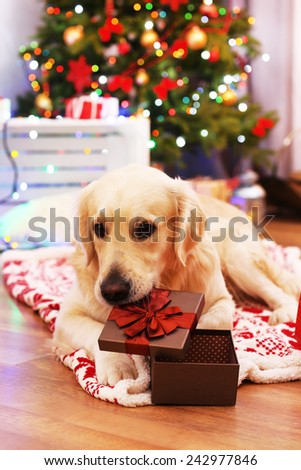Big Labrador lying on plaid on wooden floor and Christmas tree background - stock photo