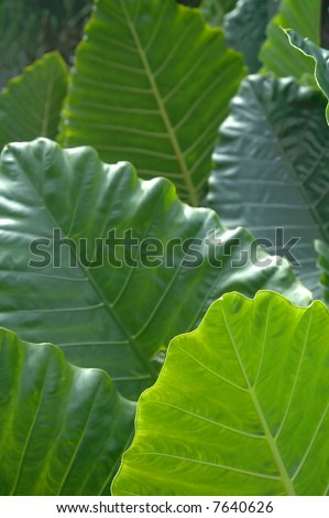 big leafs background - stock photo