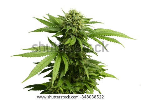Big Leafy Cannabis Plant with Marijuana Buds Isolated By White Background - stock photo