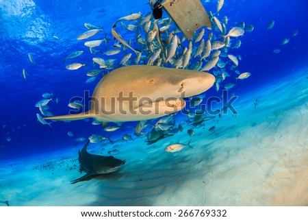 Big lemon shark swimming by very close with jacks fish and bait box in background, Tiger beach, Bahamas