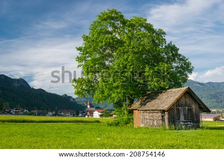 big lime tree with old wooden hut at meadow in rural village scene - stock photo