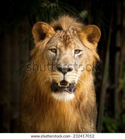 Big lion face portrait . - stock photo