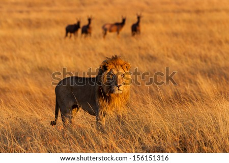 Big Lion in the high grass at sunrise with Topi Antelopes in the background in Masai Mara, Kenya - stock photo