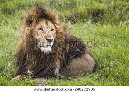 Big Lion showing his dangerous teeth in Masai Mara, Kenya. - stock photo