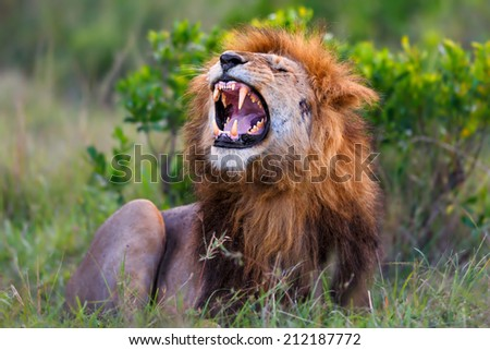 Big Lion showing his dangerous teeth in Masai Mara, Kenya. It is Ron the son of famous Lion Notch. - stock photo