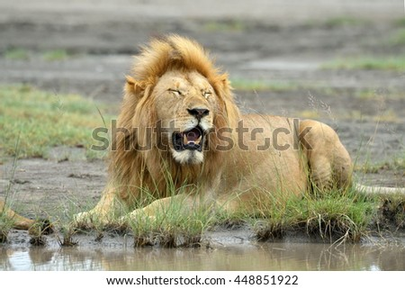 Big lion sitting by the water - stock photo