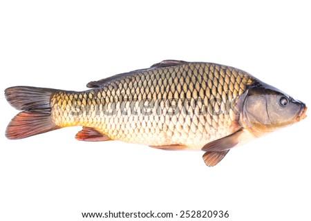 Big live fish carp on a white background - stock photo