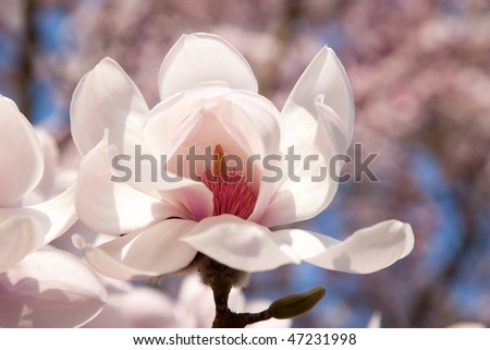 Big magnolia flower on background of blooming tree