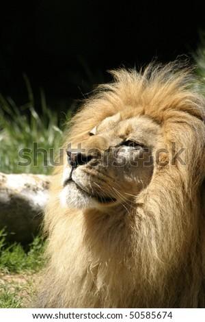 Big male African lion, Kalahari, South Africa - stock photo