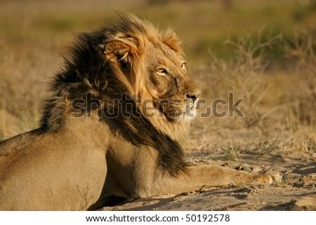 Big male African lion (Panthera leo), Kalahari desert, South Africa - stock photo