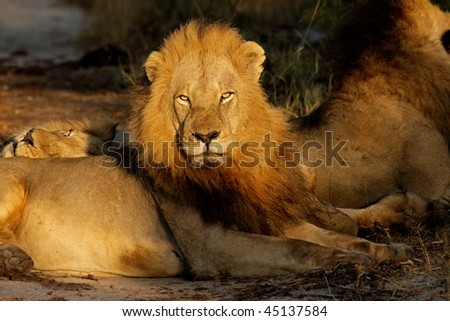 Big male African lion (Panthera leo) resting in early morning light, South Africa - stock photo