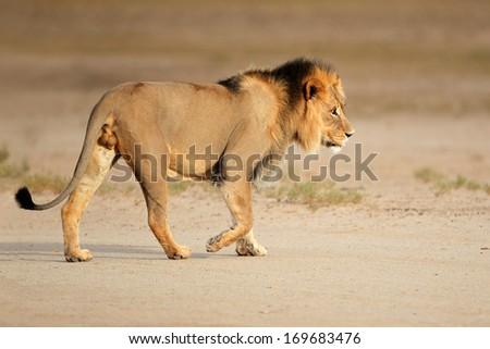 Big male African lion (Panthera leo) walking, Kalahari, South Africa - stock photo