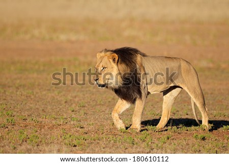 Big male African lion walking (Panthera leo), Kalahari desert, South Africa