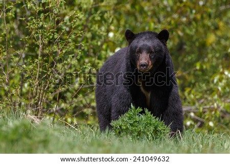 Big male black bear - stock photo