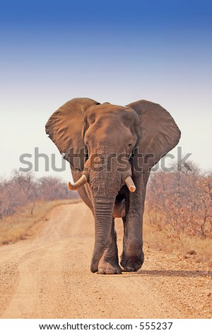 Big male elephant in Kruger 3 - stock photo