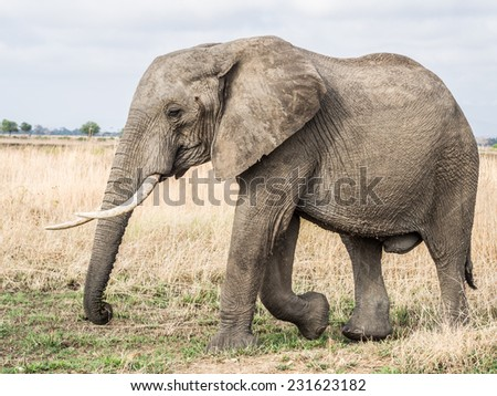 Big male elephant with canines walks on the savanna in Mikumi national park in Tanzania, East Africa. Landscape / horizontal orientation. - stock photo