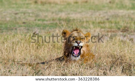 Big male lion in savanna. National Park. Kenya. Tanzania. Maasai Mara. Serengeti. An excellent illustration.