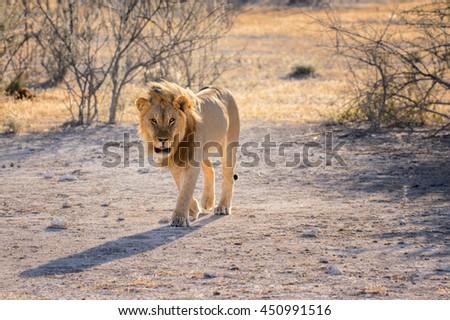 Big male lion lying grassland in the lake Nakuru, African safari, Namibia - stock photo