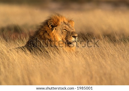Big male lion (Panthera leo) lying in the grass, Etosha National Park, Namibia	 - stock photo