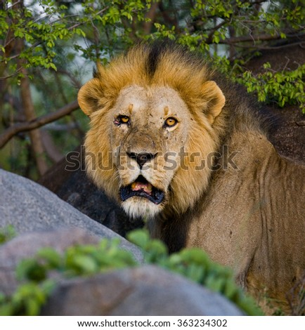 Big male lion with gorgeous mane on a big rock. National Park. Kenya. Tanzania. Masai Mara. Serengeti. An excellent illustration.