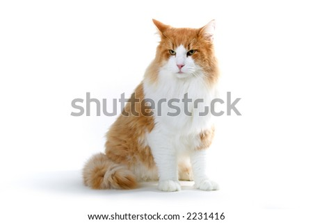 big male norwegian forest cat in red and white - stock photo
