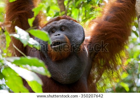 Big male orangutan on a tree in the wild. Indonesia. The island of Kalimantan (Borneo). An excellent illustration.
