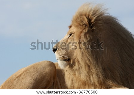 Big male white lion staring into the distance