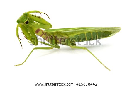 big Mantis in front of white background