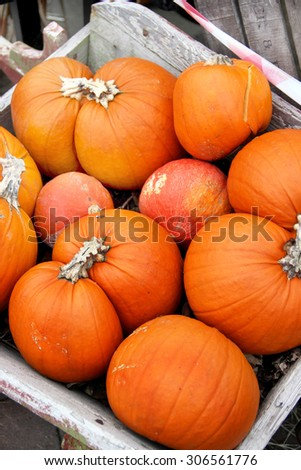 Big mix of Halloween pumpkins in the fall garden