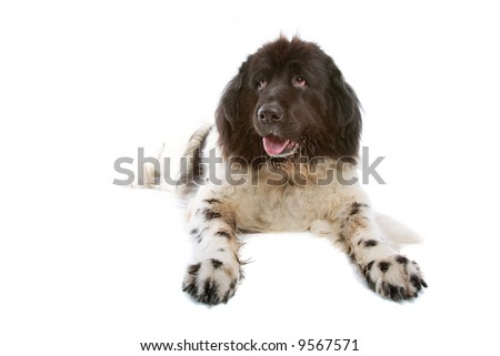 big mountain dog isolated on a white background