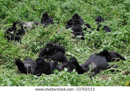 Big mountain gorilla family with silverback and multiple baby gorillas chilling out between the vegetation during a gorilla trekking in Volcanoes National Park in Rwanda. - stock photo