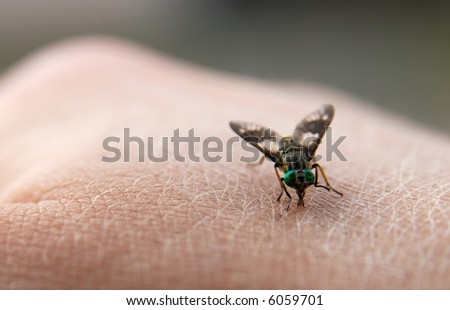 Big nasty fly biting in human skin