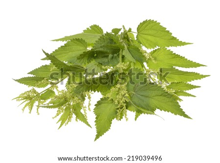 Big nettle herb plant isolated on white background