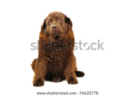 Big newfoundland dog in studio on white background