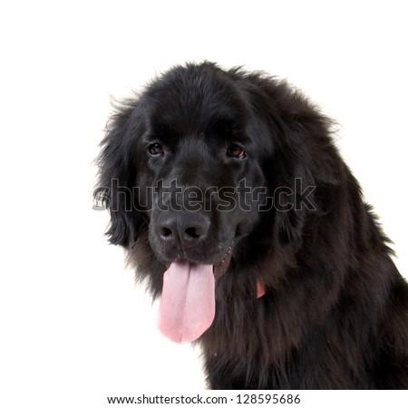 big newfoundland dog on white background - stock photo