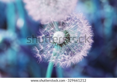 Big nice white dandelion scatters in pink and blue tones