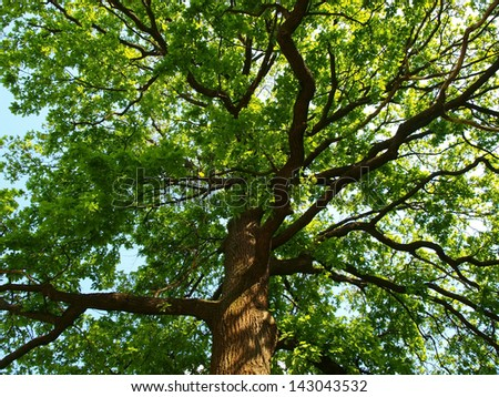 Big oak tree - stock photo