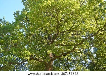 Big oak tree - stock photo