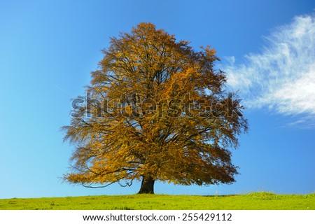 big old beech tree at autumn - stock photo