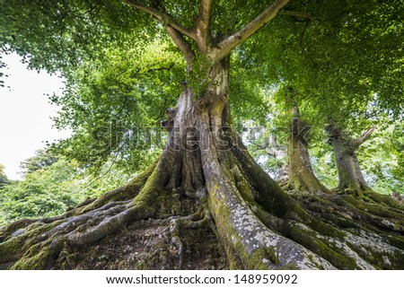 big old tree - stock photo