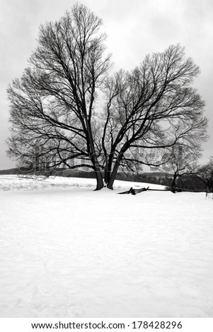 Big old tree in a field in winter snow at Valley Forge National Historical Park military camp of the Continental Army near Philadelphia in Pennsylvania