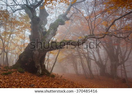 Big old tree in autumn forest in the misty fog. Nature in October and November.