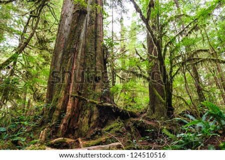 Big old trunk in rainforest on Vanouver island, British Columbia, Canada - stock photo