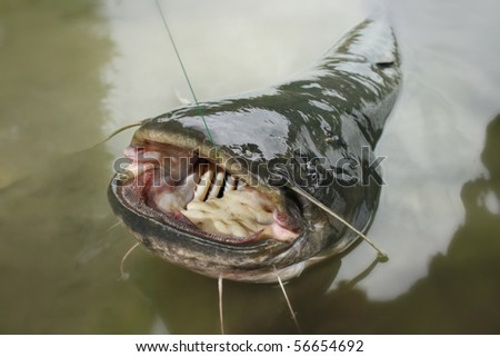 Big one catfish on river - stock photo