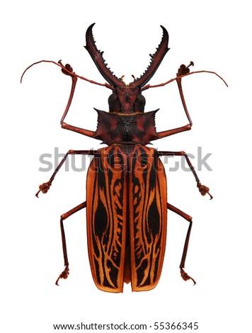 Big orange and black horned beetle isolated on white - stock photo