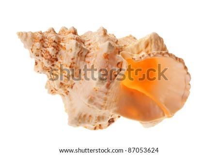 big orange sea shell isolated on white - stock photo